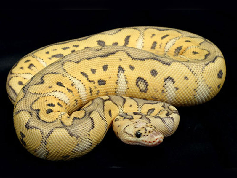 killer clown ball python 8904278 bunkyoinfo