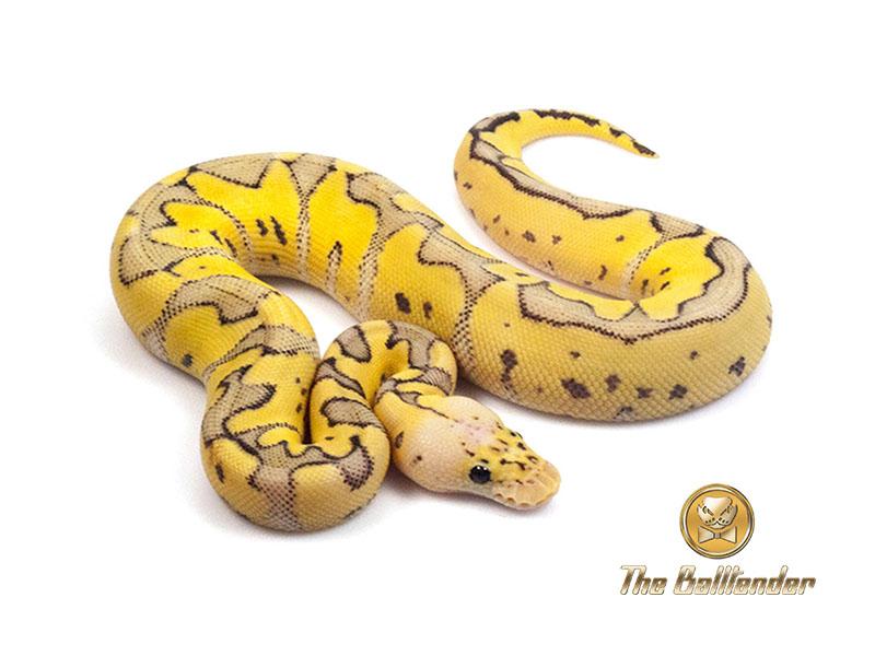 killer clown morph list world of ball pythons