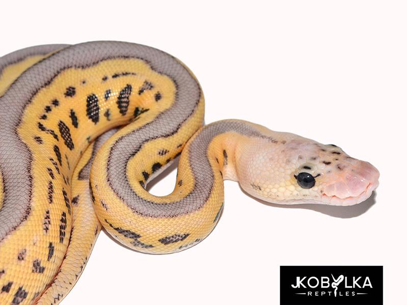 killer leopard clown morph list world of ball pythons