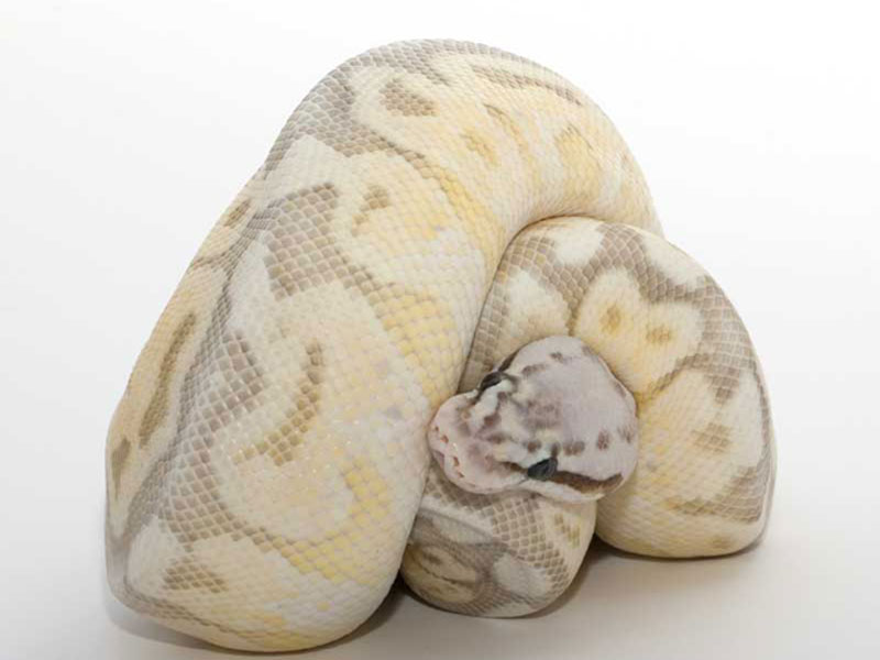 Killer Queen Bee - Morph List - World of Ball Pythons