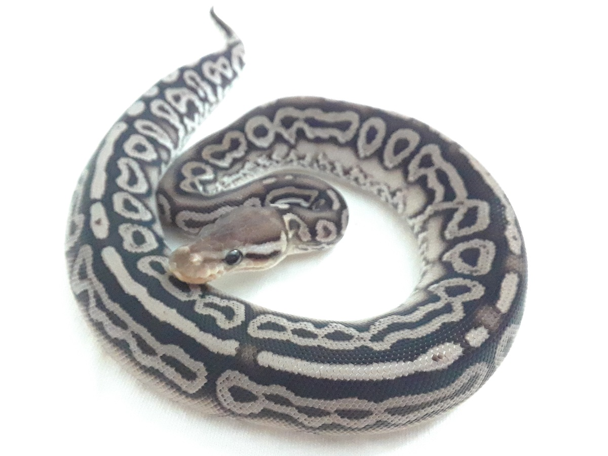 Lace Black Back Leopard Yellow Belly