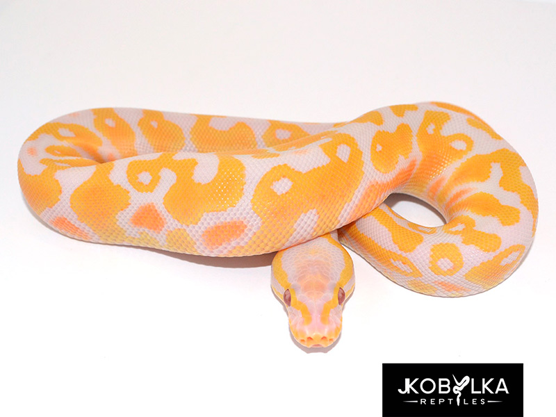 Lavender Albino Pastel Yellow Belly