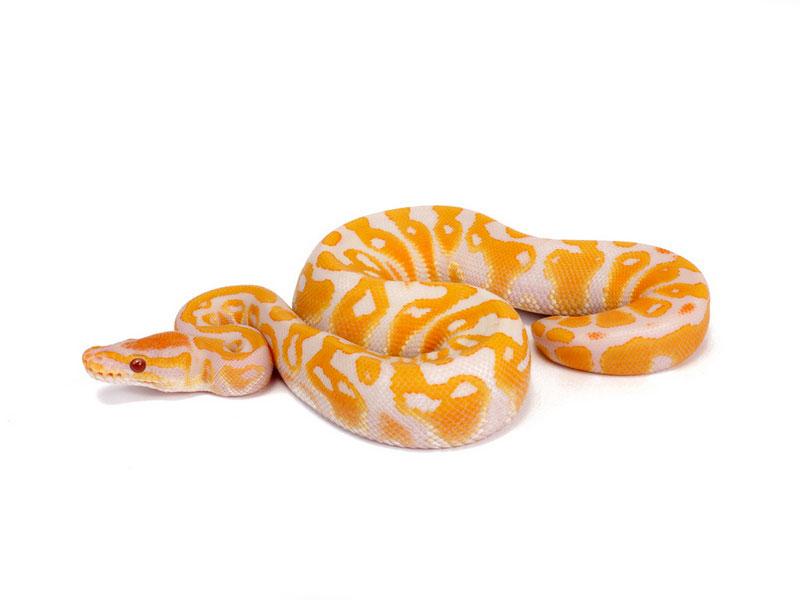 Lavender Albino Morph List World Of Ball Pythons