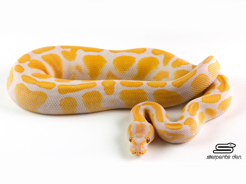 Lavender Albino