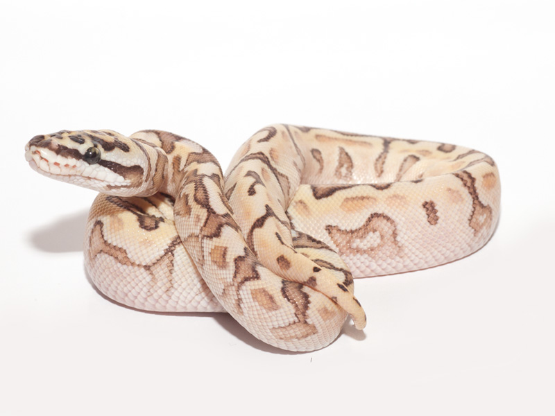 Lemon Pastel Lesser Fader Woma Bling Yellow Belly