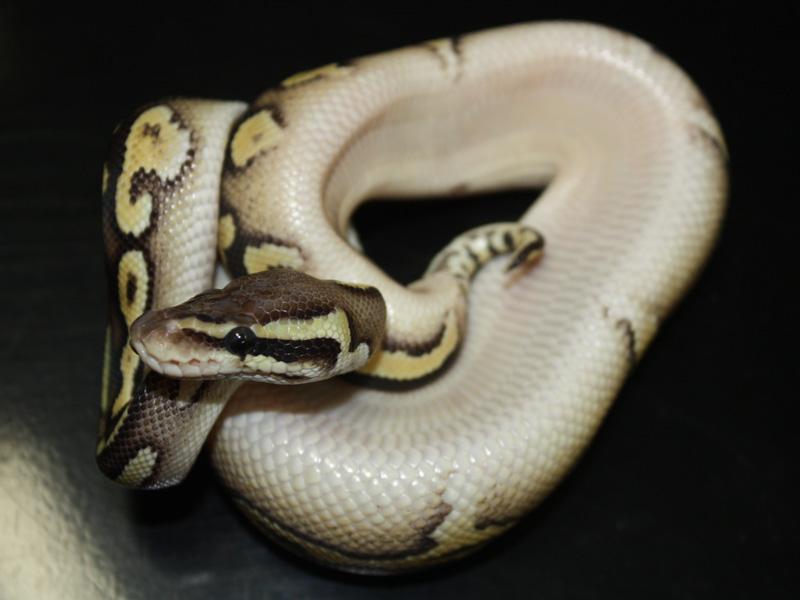 Lemon Pastel Mojave Yellow Belly