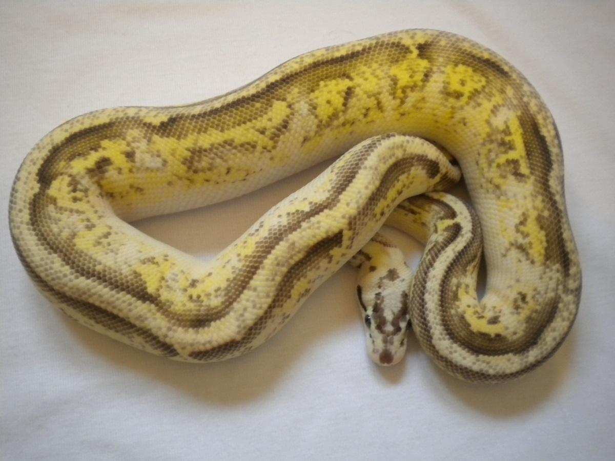 Lemon Pastel Specter Yellow Belly
