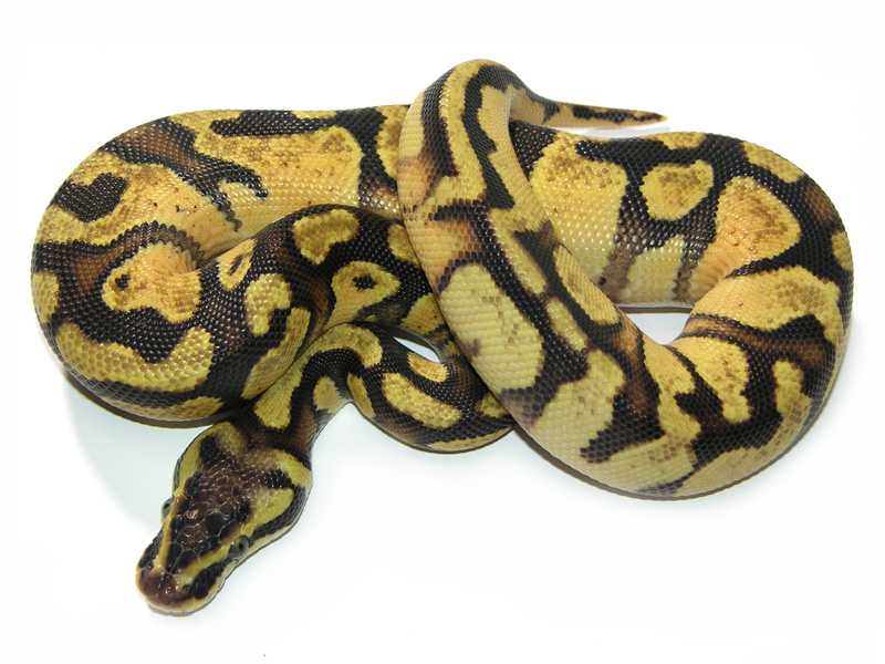 Lemon Pastel Super Enchi