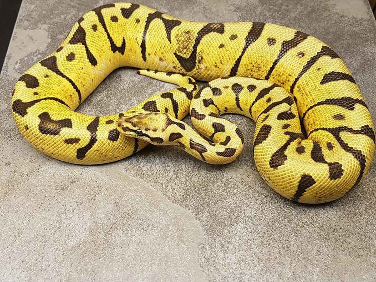 Lemon Pastel Woma