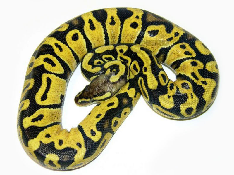 Pastel ball python - photo#25