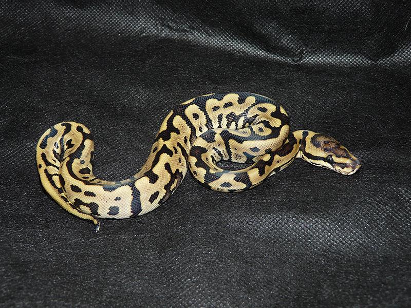 Leopard Phantom Woma