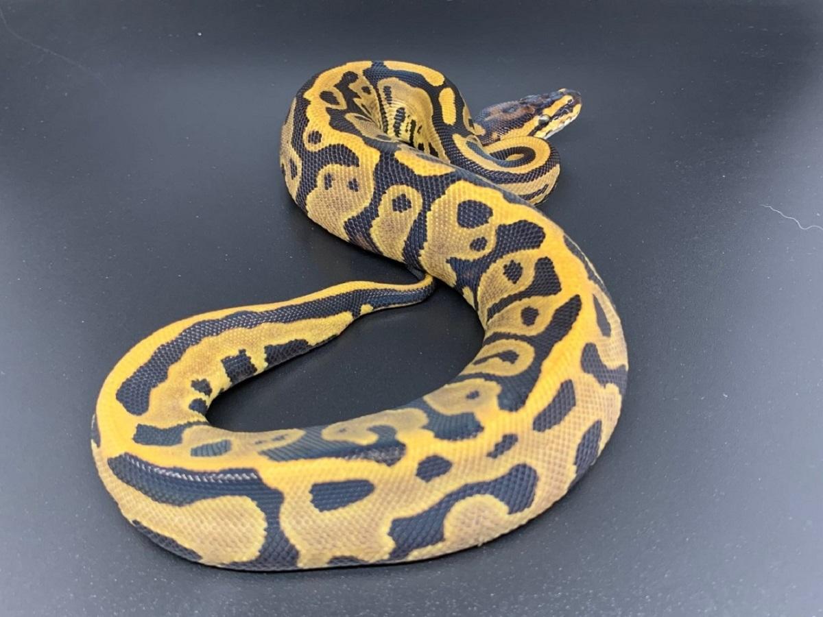 Leopard Ball Specter