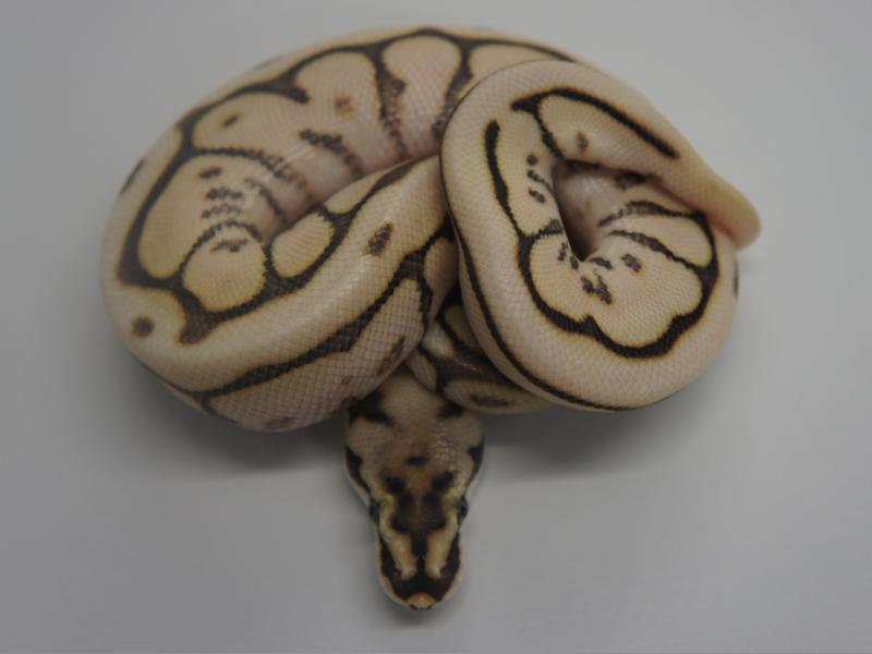 Lesser Bee Ball Python Leopard Lesser ...