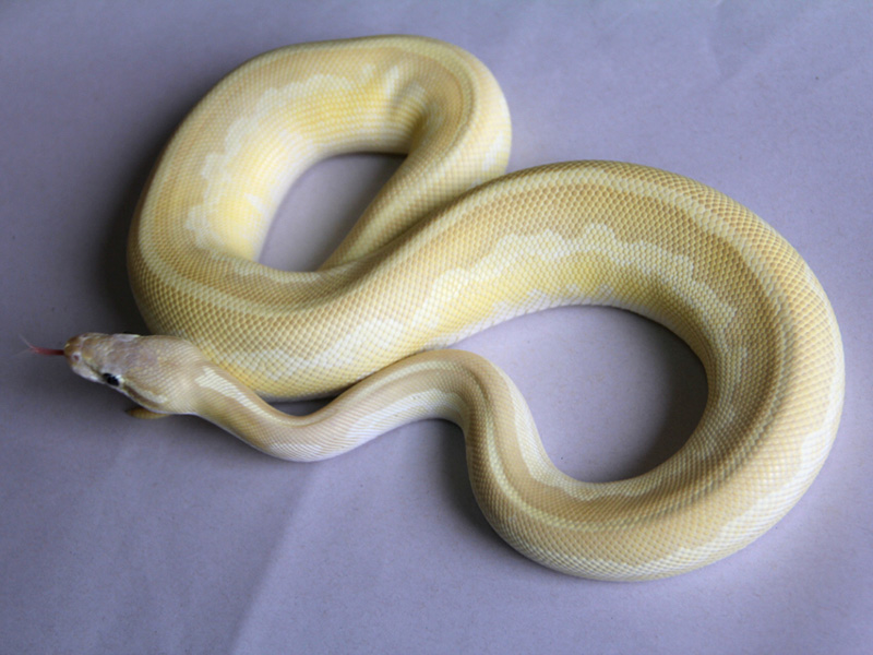 Leopard Mojave Pastel Special