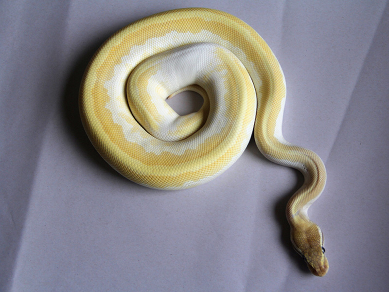 Leopard Mojave Special