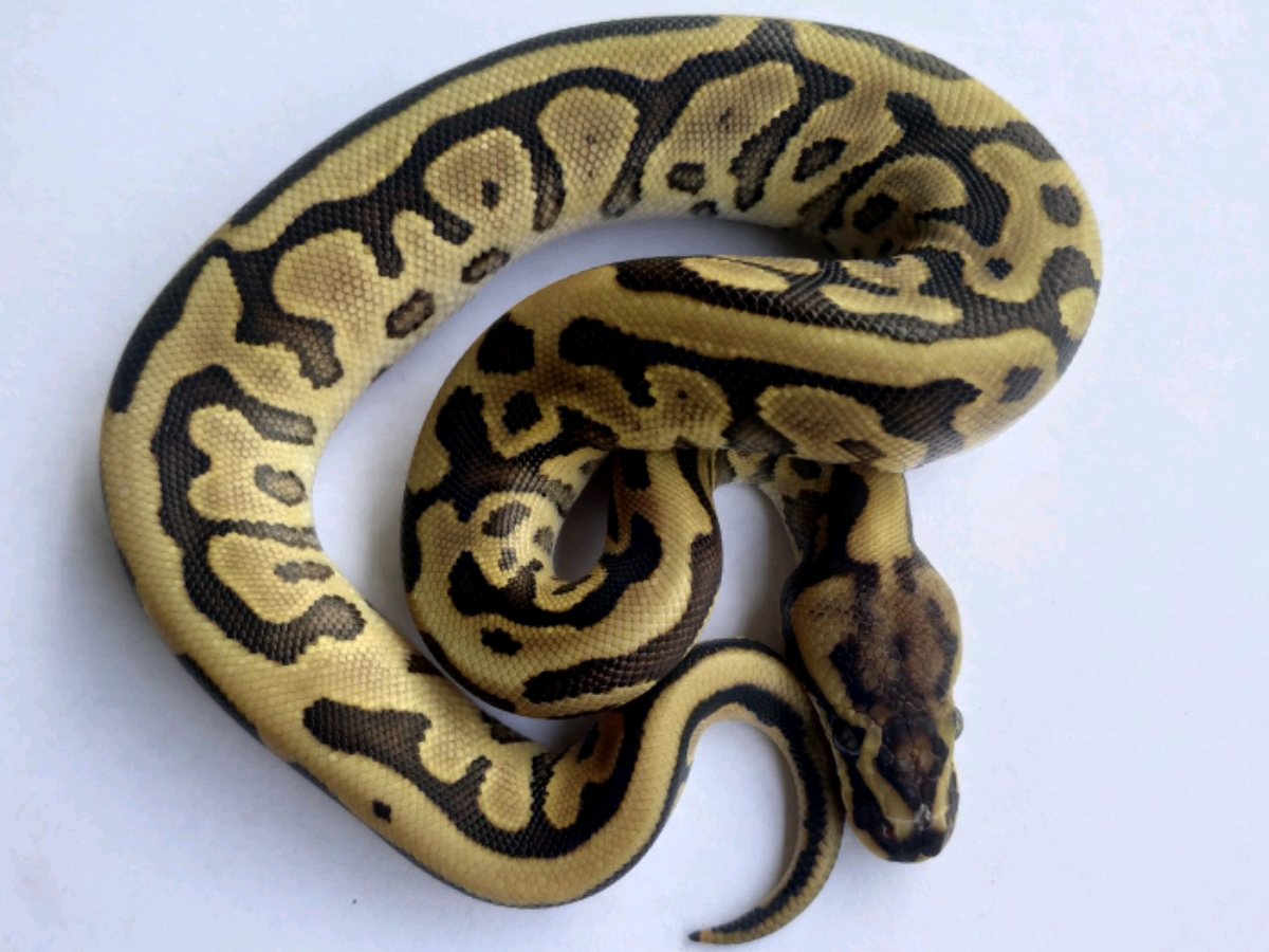 Leopard Mojave Woma