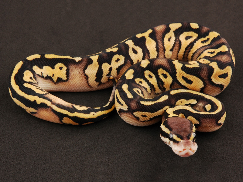 Pastel mystic ball python - photo#3