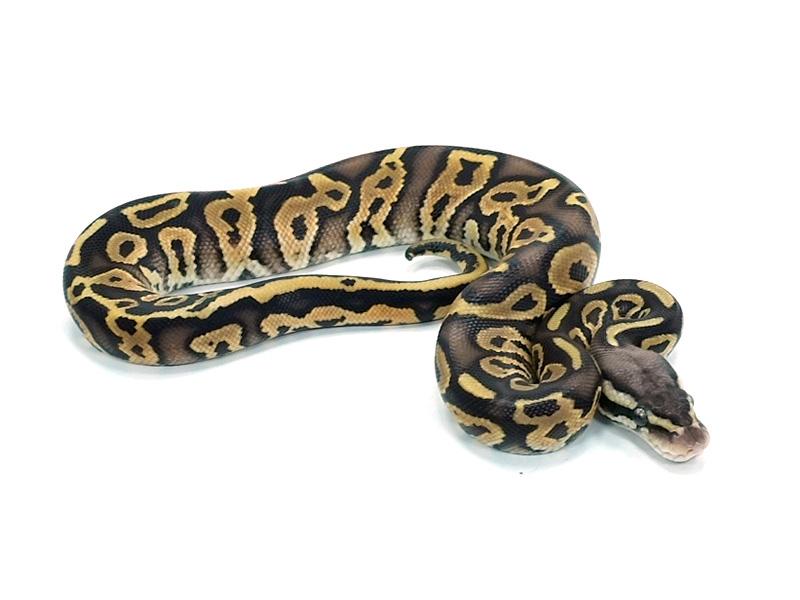 Leopard Pastel Special