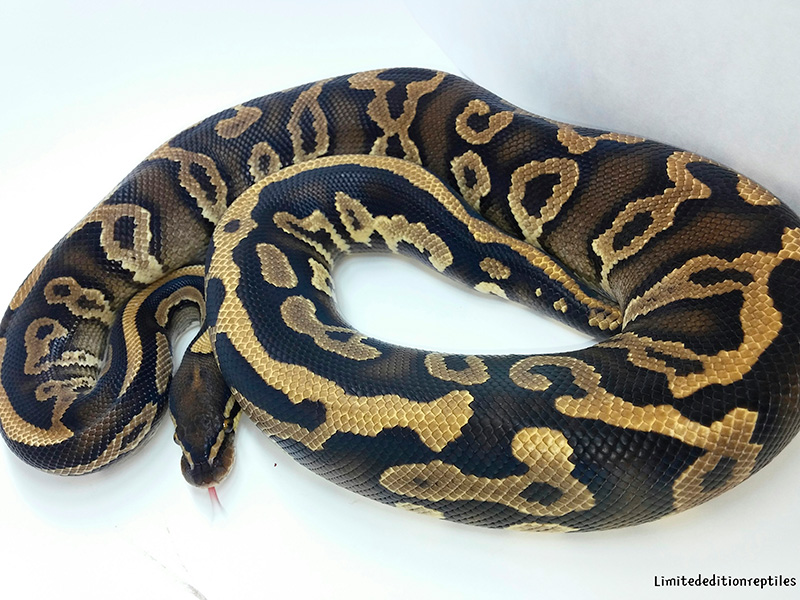 Leopard Phantom Yellow Belly
