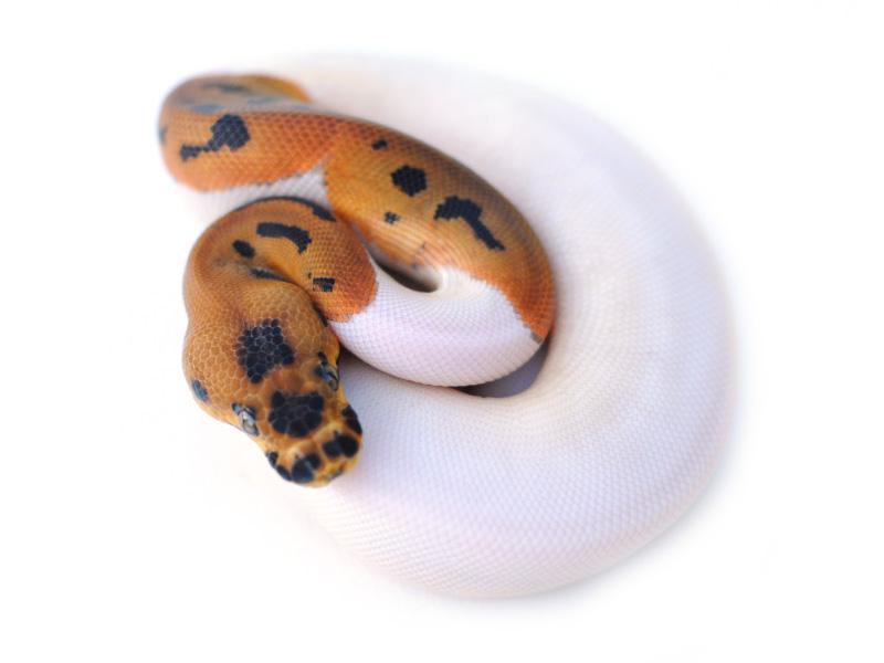 Pied clown ball python - photo#30