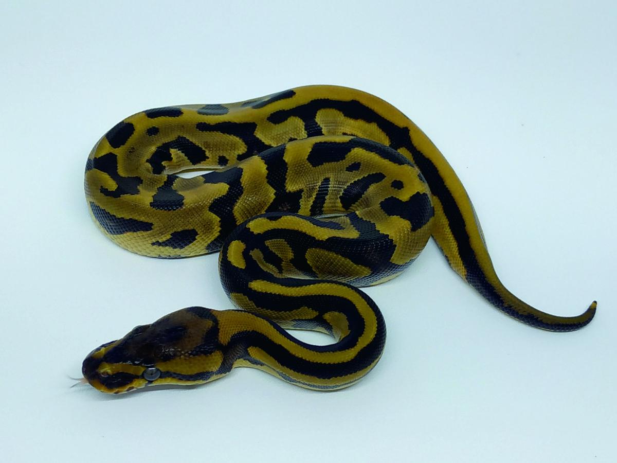 Leopard Specter