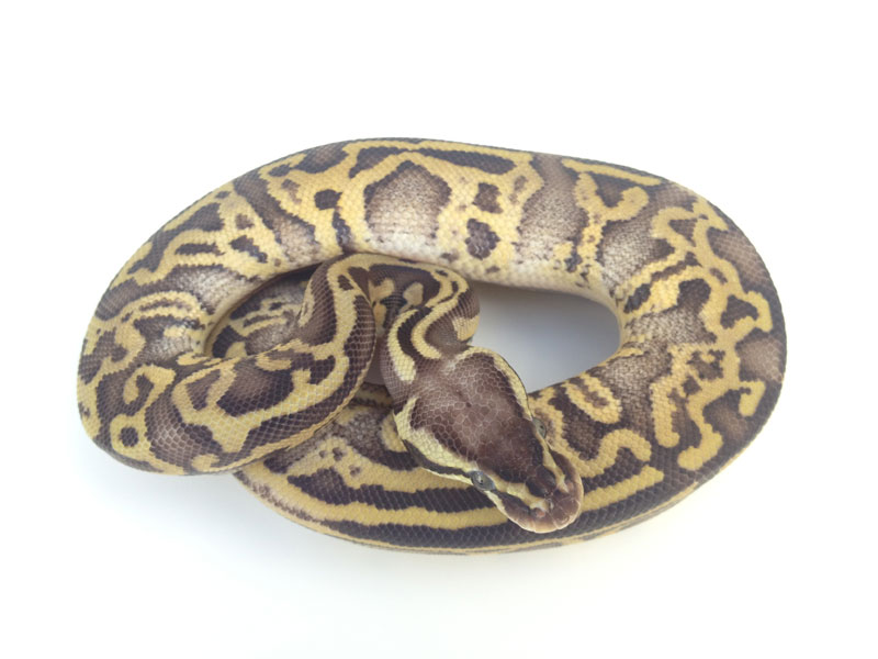 Pastel mystic ball python - photo#27