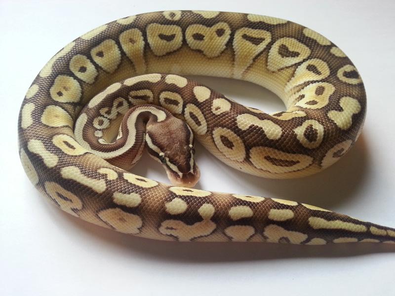 Lesser Pastel