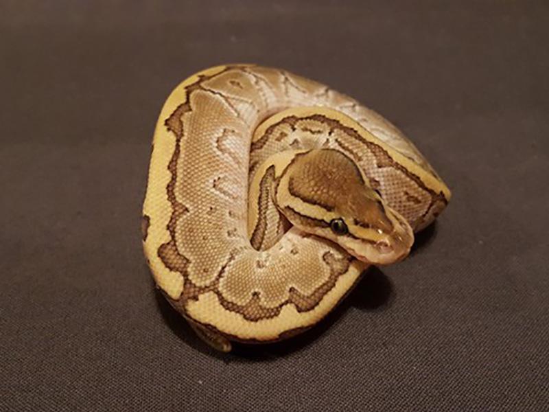 Lesser Pinstripe Specter