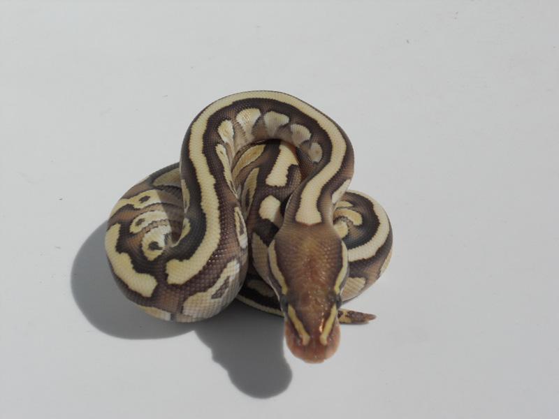 Lesser Bee Ball Python Mystic Potion - Morph ...