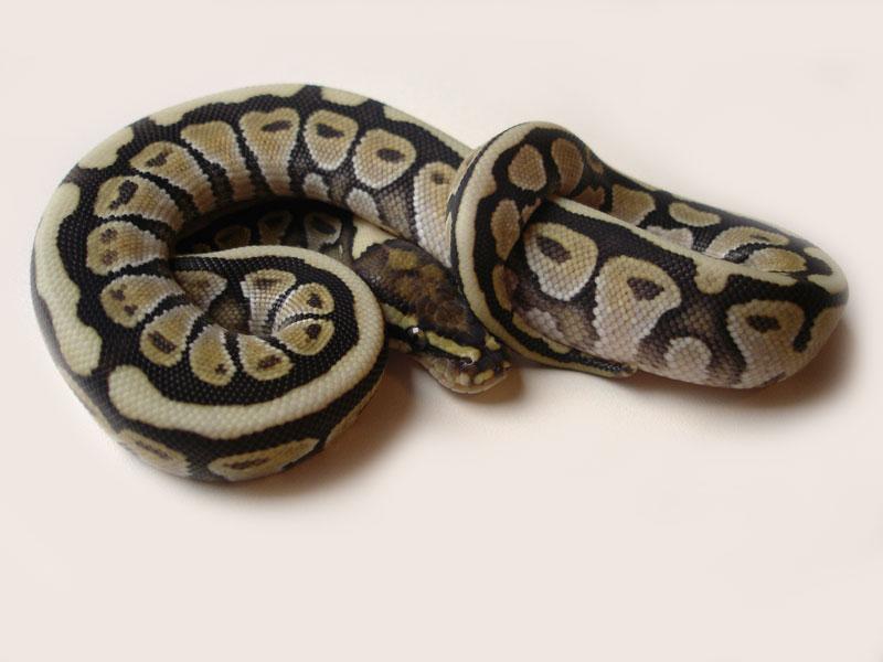 Lesser Spotnose