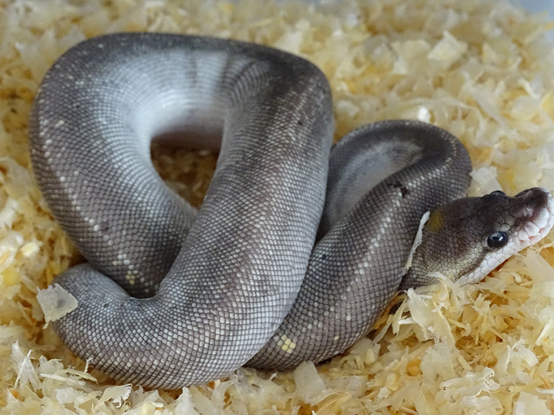 how to make a super black pastel ball python