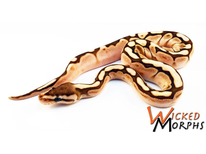 Lesser Woma Calico