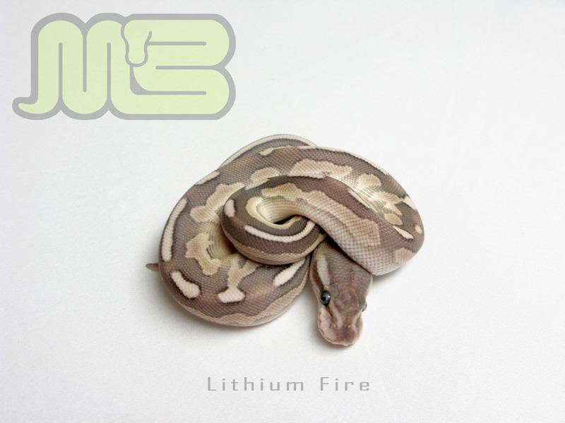Lithium fire morph list world of ball pythons