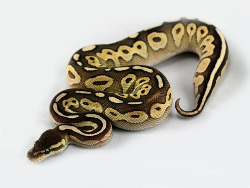 Super Lithium - Morph List - World of Ball Pythons XA29