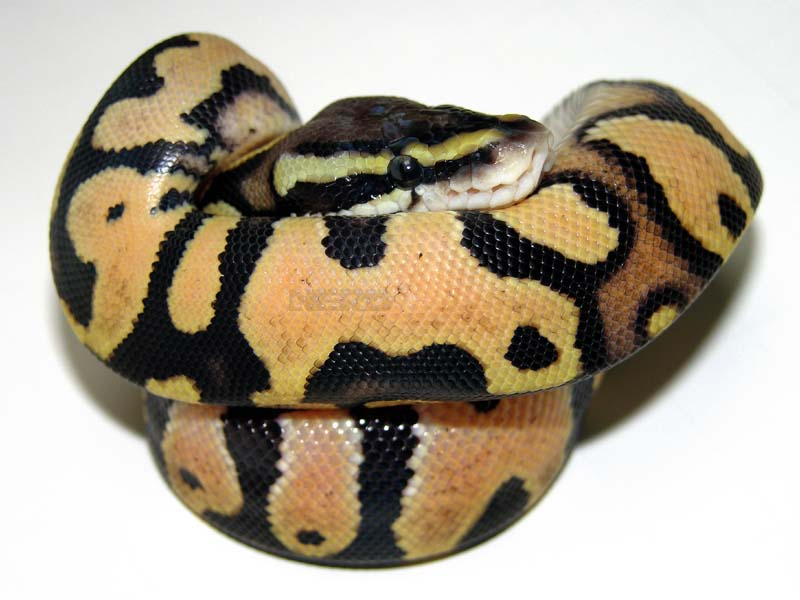 Mandarin Pastel