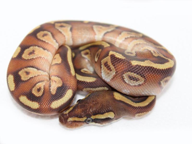 Moê Ball - Morph List - World of Ball Pythons