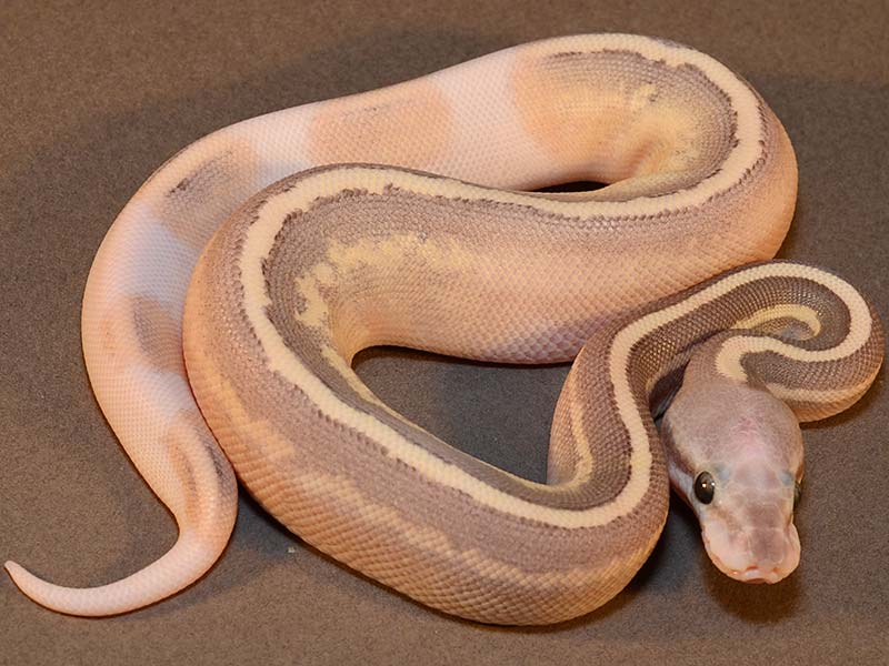 Mojave Cinnamon Cream