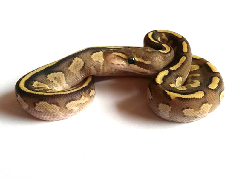 Mojave Fire Yellow Belly