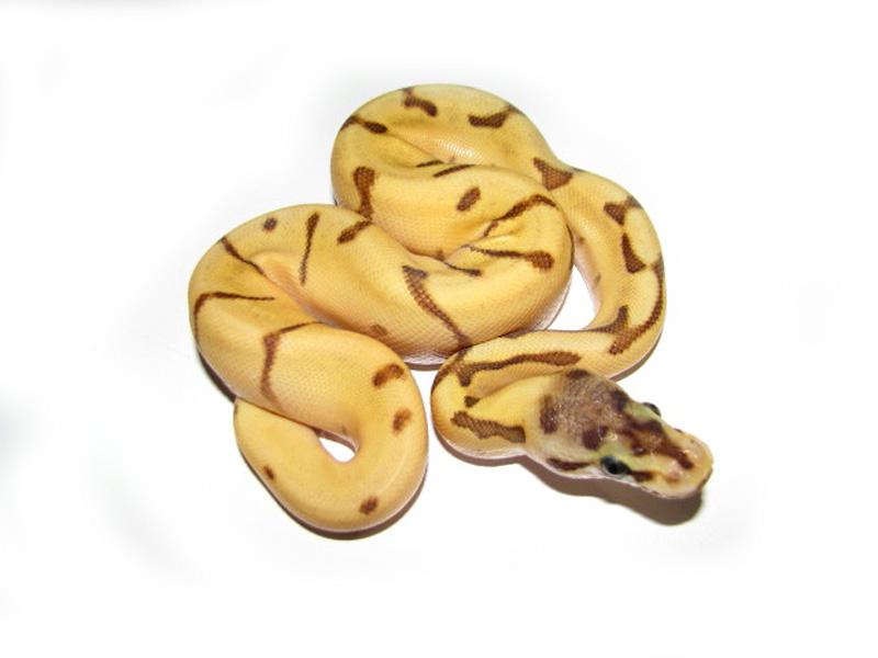 Mojave Morse Code - Morph List - World of Ball Pythons