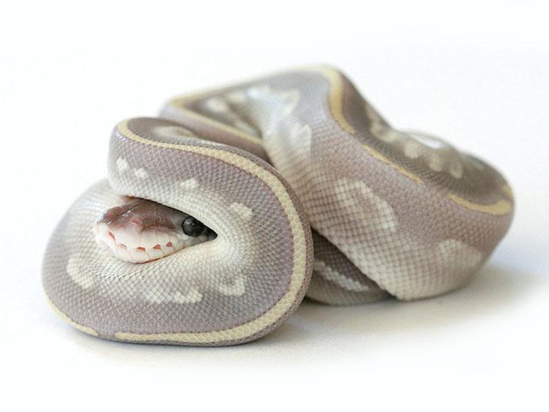 mojave mystic morph list world of ball pythons