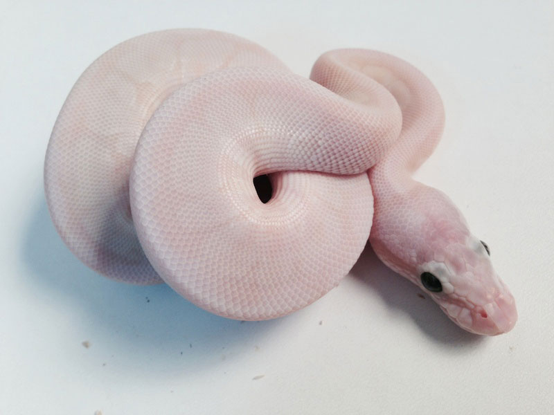 Mojave Pastel Special Spider