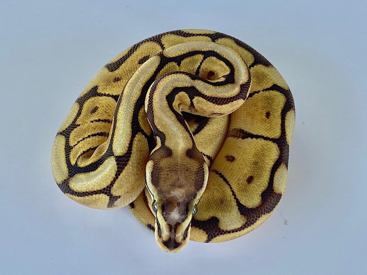 Mojave Scaleless Head Spider