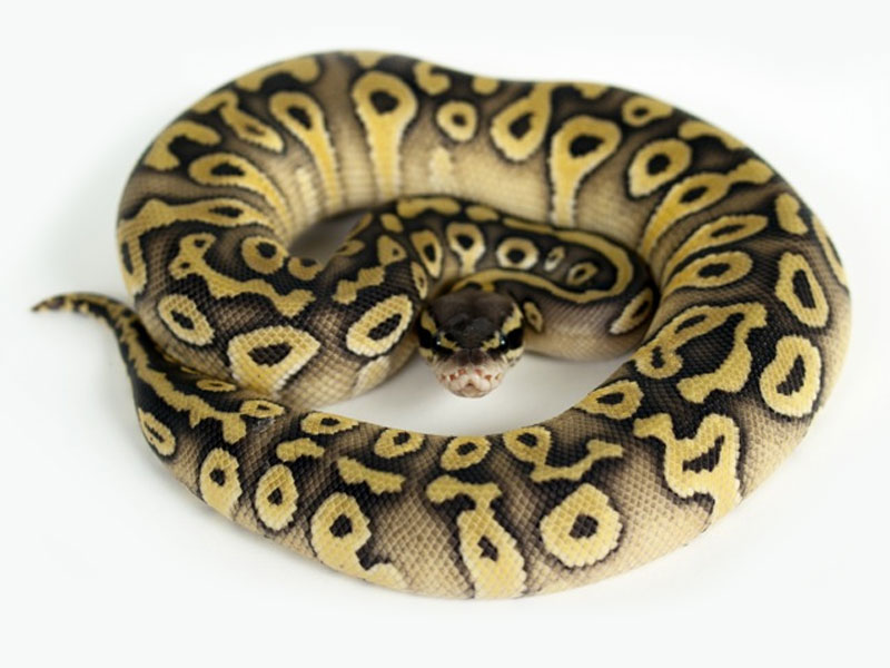 ball python essay Essay on ball python ball python a ball python is one of the most obedient snakes, which is why it is the most common pet snake the ball python is native africa residing in forests, savannahs and grasslands.
