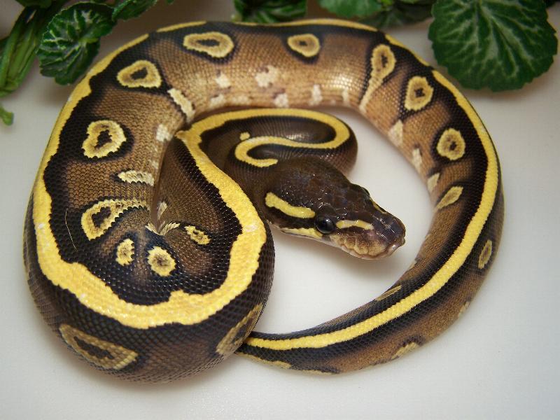 Mojave Vanilla Yellow Belly - Morph List - World of Ball Pythons