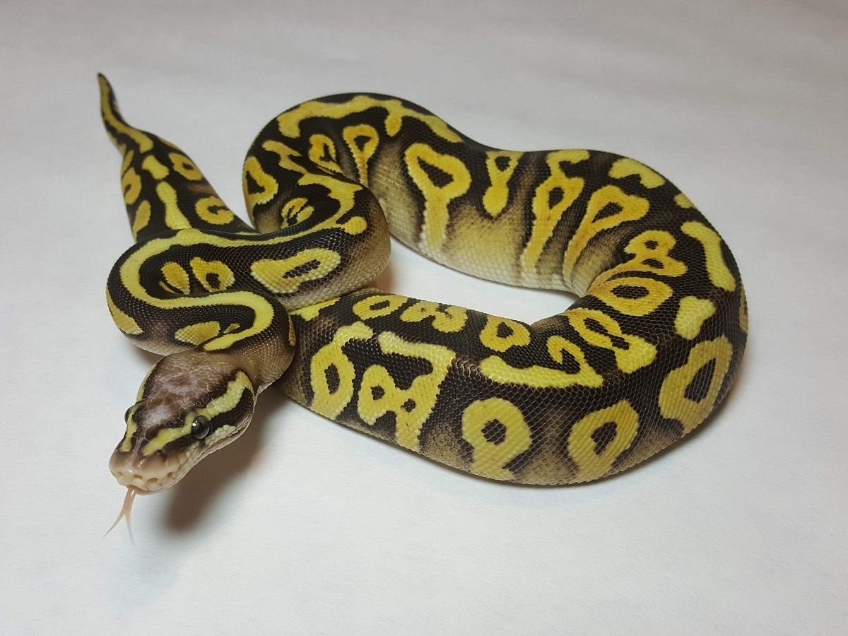 Mystic Pastel Scaleless Head Spotnose