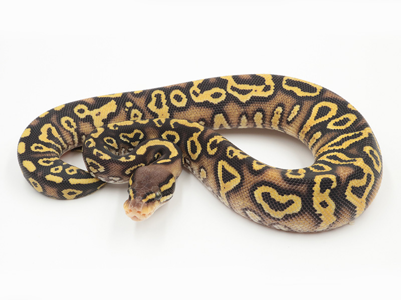 Mystic Pastel Trick Yellow Belly