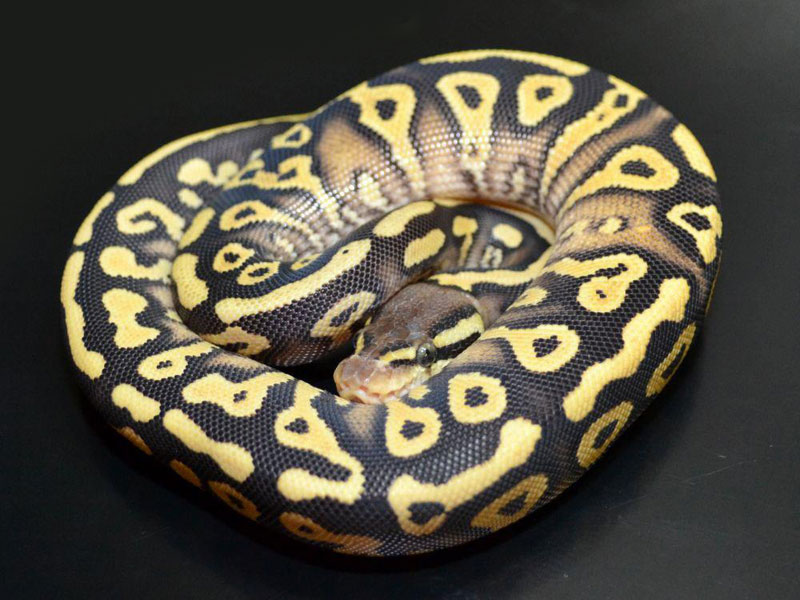 Pastel mystic ball python - photo#4