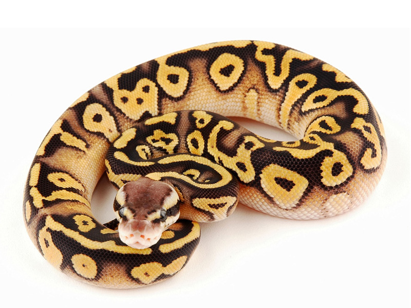 Pastel mystic ball python - photo#1