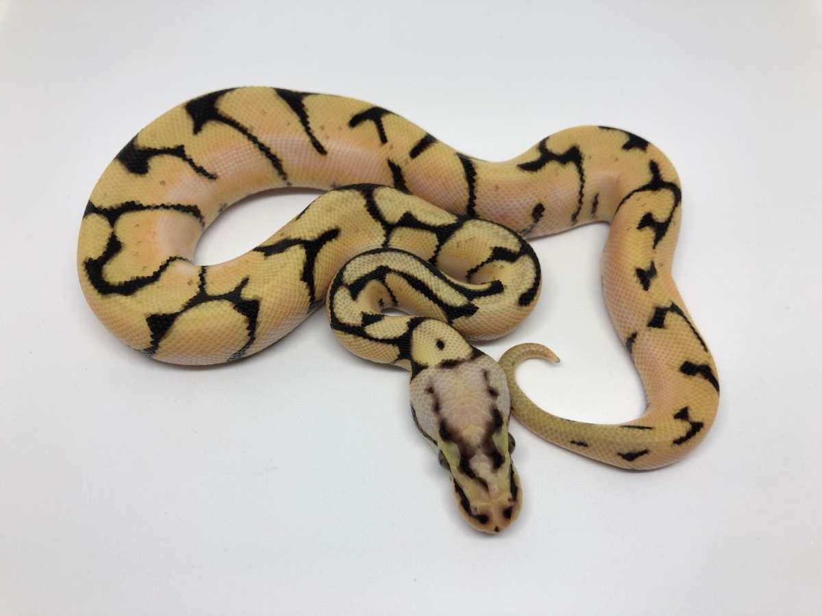 Orange Dream Pastel Spider Vanilla