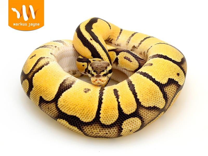 Orange Dream Pastel Vanilla